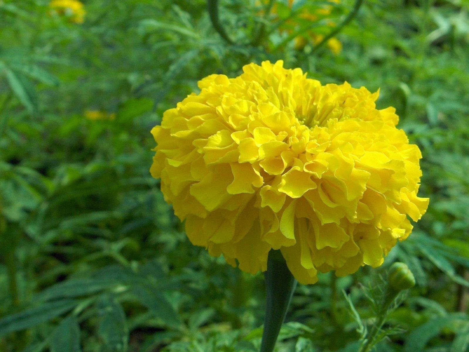 Yellow Flower Kirit